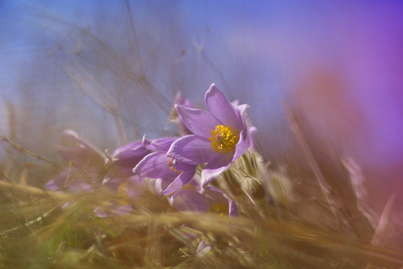 Purple pasque flower blooming in the meadow