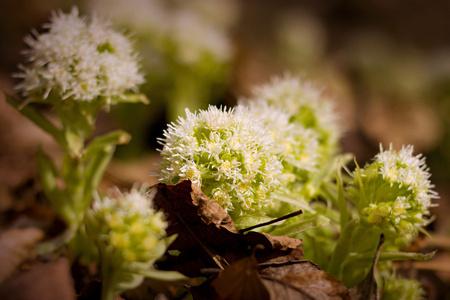 petasites: White Butterbur - Petasites albus blooming in the forest Stock Photo