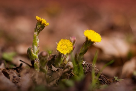 Coltsfoot (Tussilago farfara) blooming in the woods