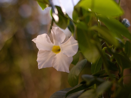 dipladenia: White Mandevilla - beautiful tropical plant