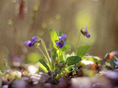 Viola odorata flowers blooming in spring forest