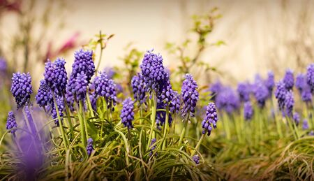 Blue Muscari blooming in the garden