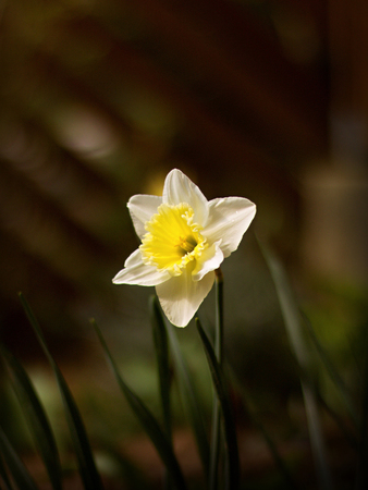 Lovely daffodil blooming in the garden