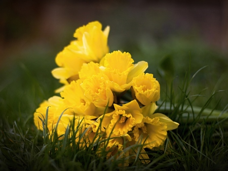 Yellow daffodils lying in the grass
