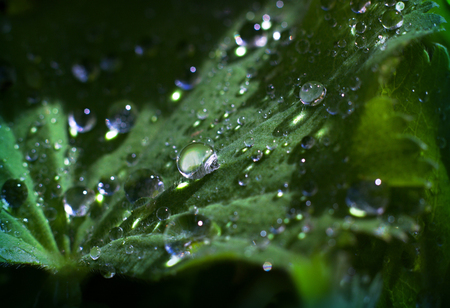 Ladys mantle - morning dew on the leaves Stock Photo