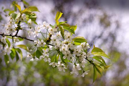 Close up beautiful blossom tree Stock Photo
