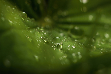 ladys mantle: Ladys mantle - morning dew on the leaves Stock Photo