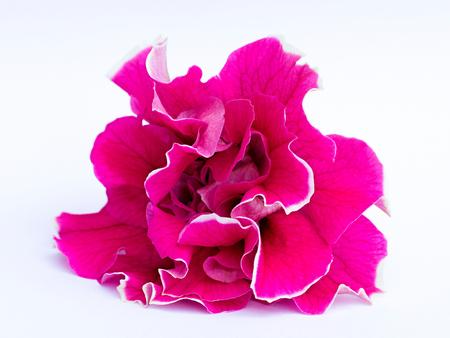 Petunia on a white background