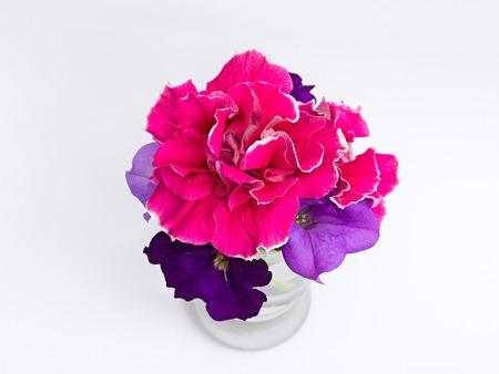 Petunias on a white background Stock Photo