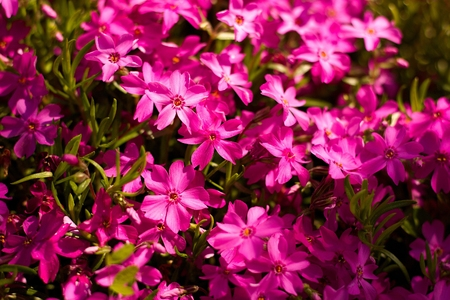 pink phlox blooming in the garden Stock Photo