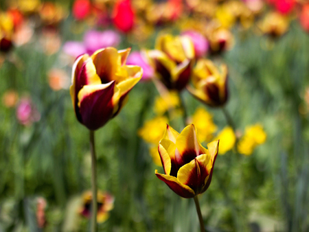 Beautiful tulips in the park Stock Photo