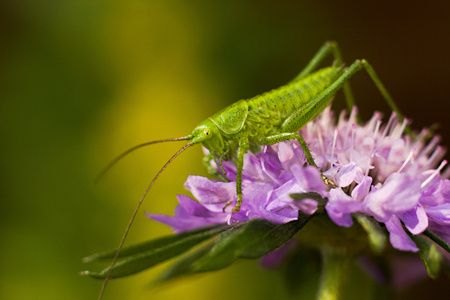 Green grasshopper on a purple flower