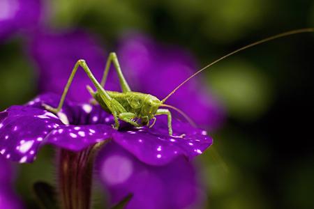 Green grasshopper on a purple flower