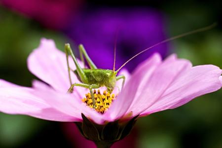 Green grasshopper on a pink flower Stock Photo