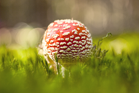 shamanic: Amanita muscaria in the forest