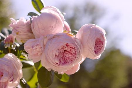 Beautiful rose Geoff Hamilton in the garden