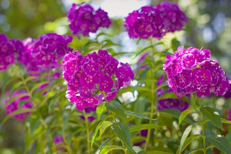 Purple phlox flowers in garden Stock Photo