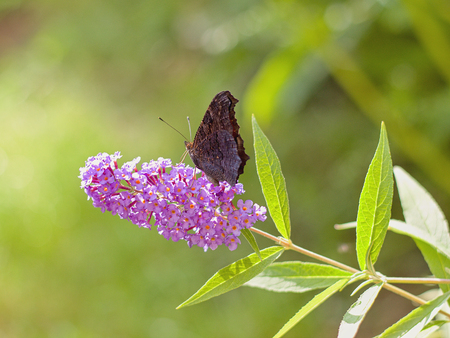 background pattern: Butterfly bush and beautiful butterfly