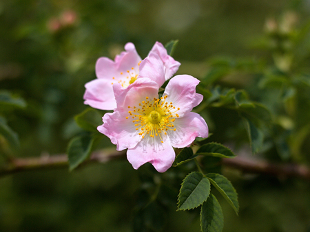 rosa canina in the garden Imagens
