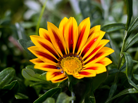 orange gazania in the garden Banque d'images