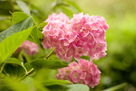 pink hydrangea in the garden Imagens - 115663509