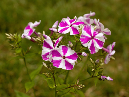 beautiful phlox blooming in the garden