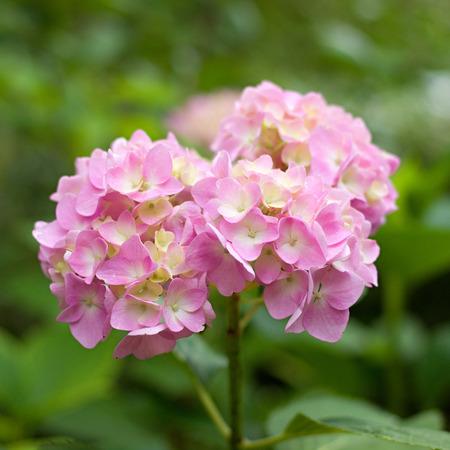 pink hydrangea in the garden