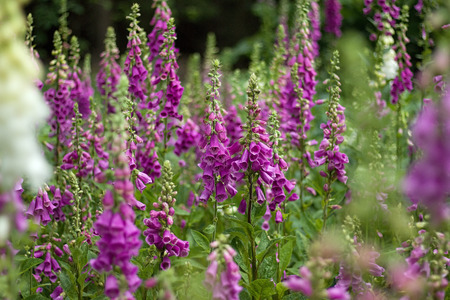 digitalis blooming in the woods Banque d'images