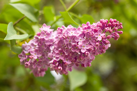 pink lilac blooming in the garden Imagens - 115680110