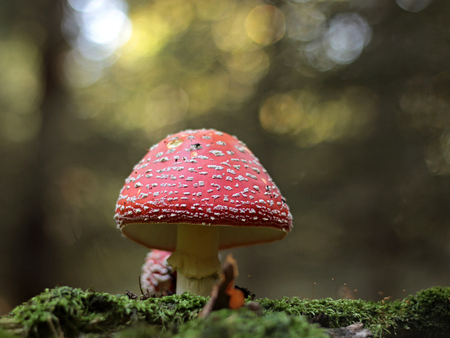 red toadstool growing in the woods