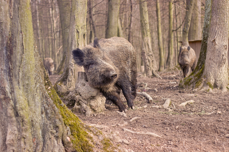 wild pigs in the forest
