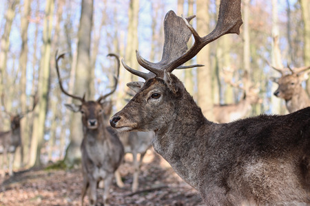 European Fallow Deer in the forest