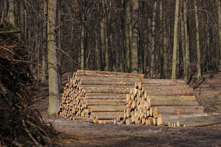Cut tree trunks in the forest
