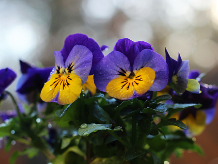 colorful pansies blooming in the garden