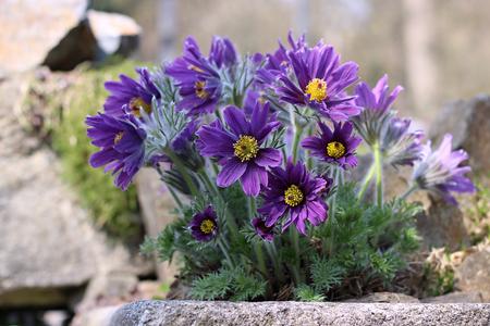 purple pasque flower blooming in the garden Imagens