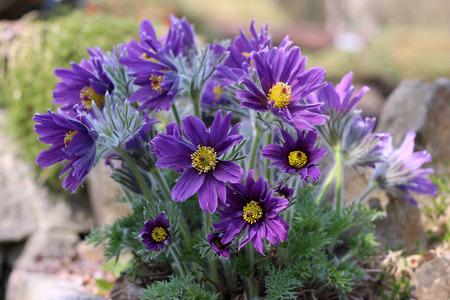 purple pasque flower blooming in the garden
