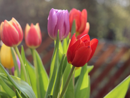 colorful tulips in the garden Imagens
