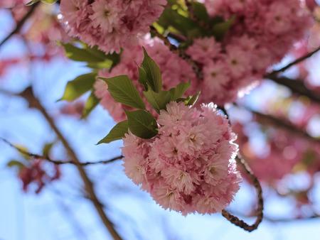 pink sakura blooming in the garden Imagens