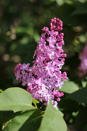 purple lilac blooming in the garden Imagens