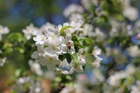 blooming apple tree in the park