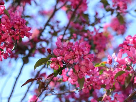 Red flowers of ornamental apple tree