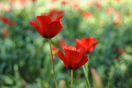 red tulips blooming in spring