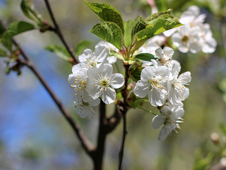 Flowers of the cherry blossoms on a spring day Imagens