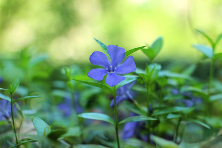 Blue periwinkle (Vinca minor) growing in the meadow