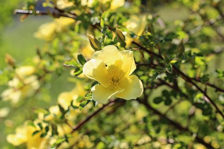 Yellow rose in a garden Imagens