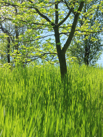 tree, green grass and sky
