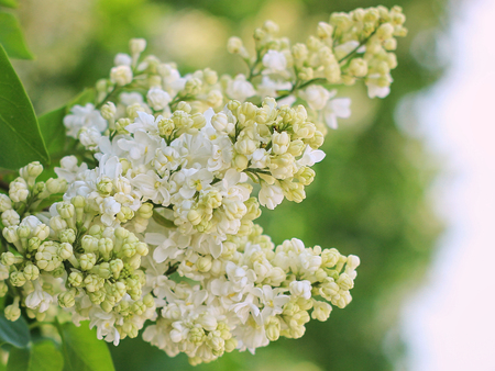 white lilac blooming in the garden