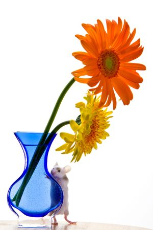 Adorable white pet mouse with tan spots peeking over a blue curvy vase with one yellow and one orange gerbera daisy.
