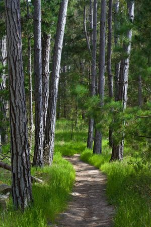 Beautiful sandy pathway with pine trees and green grass, leading to unknow destination.  Dappled sunlight suggests spring or summer day. Stock Photo