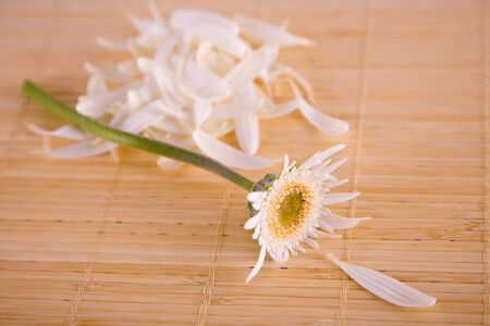 White daisy with petals pulled off for portrayal of heshe loves me, loves me not.